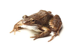 Common frog (Rana temporaria) Stock Images