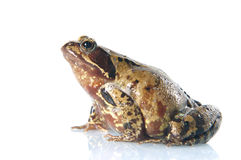 Common Frog, Rana temporaria. Picture of a common frog on a plain white background Royalty Free Stock Images