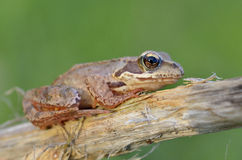 The Common Frog Stock Image