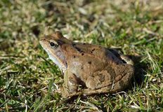 The Common Frog Stock Photo