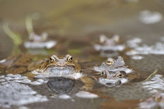 Common frog (Rana temporaria). During breeding season the Male of the common frog (Rana temporaria) shows the nuptial pad, white throat and a blue grey hue over Royalty Free Stock Photo