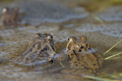 Common frog (Rana temporaria) Stock Image