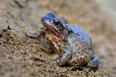 Common frog (Rana temporaria). Colourful amphibian in the family Ranidae, gravid female ready to lay eggs Royalty Free Stock Photography