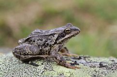 Common Frog. A common frog (Rana temporaria) from the cool mountains of Norway Stock Images