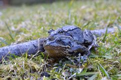 Common frog (Rana temporaria)- copulation Royalty Free Stock Photos