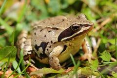 Common frog (Rana temporaria) among grass Royalty Free Stock Photos
