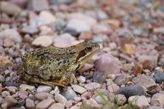 Common frog (Rana temporaria) on gravel groundCommon frog (Rana temporaria) on gravel ground Royalty Free Stock Photography