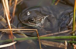 Common Frog Rana temporaria just out of hibernation in spring waiting in the reeds at the edge of a pond for a partner. Stock Photo