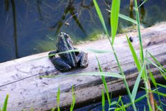 The common frog Rana temporaria mating, also known as the European common frog, European common brown  frog, or European grass royalty free stock photo