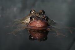 Common frog, Rana temporaria Stock Photography