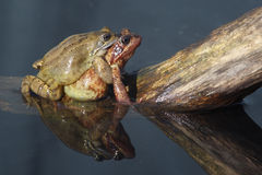 Common frog, Rana temporaria Stock Images