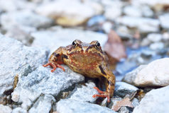 Common frog (Rana temporaria) Stock Photography