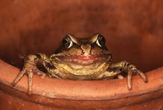 Common Frog - Rana temporaria Stock Images