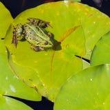 Common Frog (Rana temporaria) Stock Photos