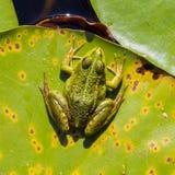 Common Frog (Rana temporaria) Stock Photo