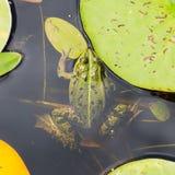Common Frog (Rana temporaria) Royalty Free Stock Image