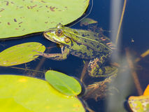 Common Frog (Rana temporaria) Royalty Free Stock Photos