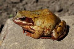 Common Frog - Rana temporaria Stock Photos