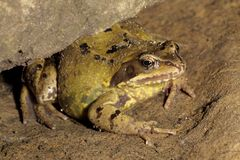 Common Frog - Rana temporaria Stock Image