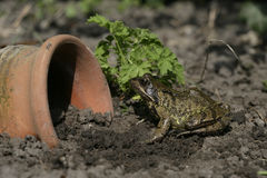 Common frog, Rana temporaria, Stock Images