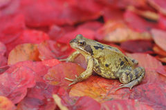 Common frog, Rana temporaria Stock Photo
