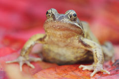 Common frog, Rana temporaria Royalty Free Stock Photo