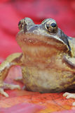 Common frog, Rana temporaria Royalty Free Stock Photos