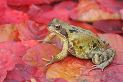 Common frog, Rana temporaria Royalty Free Stock Images