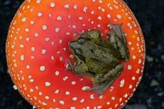 Common frog, Rana temporaria Stock Photos