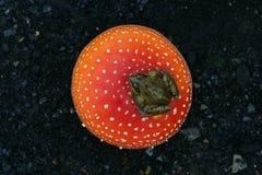 Common frog, Rana temporaria Stock Image
