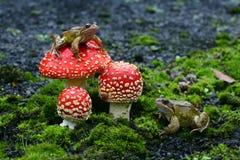 Common frog, Rana temporaria Royalty Free Stock Photography