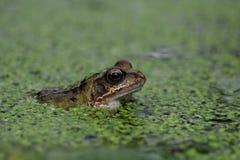 Common frog, Rana temporaria Stock Photo