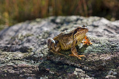 Common Frog (Rana temporaria) sitting on a stone Stock Photos