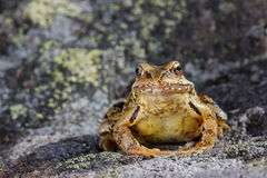 Common Frog (Rana temporaria) sitting on a stone Royalty Free Stock Photos