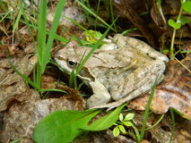 Common frog - Rana temporaria. Common frog, Rana temporaria, is a common frog species from Europe. The individual from the image is a male and its color is Royalty Free Stock Photo