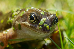 Common Frog Royalty Free Stock Image