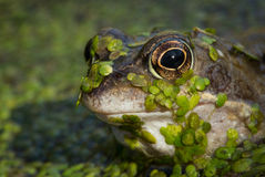 Common Frog Stock Image