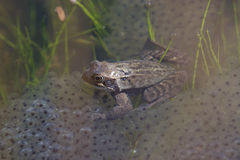 Common Frog(Rana temporaria). Common Frog (Rana temporania) with eggs royalty free stock photography