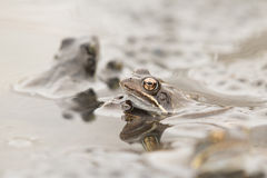 Common Frog(Rana temporaria). Common Frog (Rana temporania) with eggs stock photos