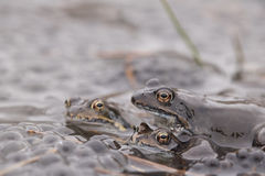 Common Frog(Rana temporaria). Common Frog (Rana temporania) with eggs stock image