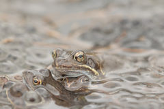 Common Frog(Rana temporaria). Common Frog (Rana temporania) with eggs royalty free stock photos
