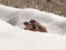 The common frog Rana temporaria walking in the snow. In the photo is a couple of common frog Rana temporaria. Spring migration takes place also in the snow royalty free stock images