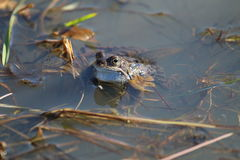 Common Frog (Rana temporaria). A frog in water, partly submerged. Head,eyes, nostrils and pale throat are visible above the water. The legs and fore-limbs are Royalty Free Stock Photos