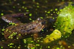 Common Frog Rana temporaria Royalty Free Stock Photo