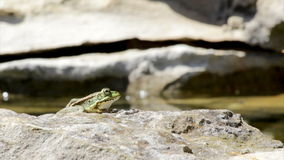 Common frog, sitting in garden pond edge and jumping stock video footage