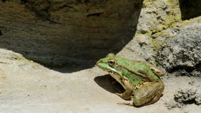 Common frog, sitting in garden pond edge stock video footage