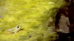 Common frog, sitting in garden pond edge stock video