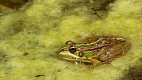 Common frog, sitting in garden pond and jump at clip end stock video footage