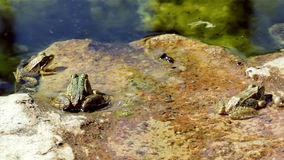 Common frog, sitting in garden pond and jump at clip end stock video
