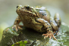 Common Frog Stock Photography